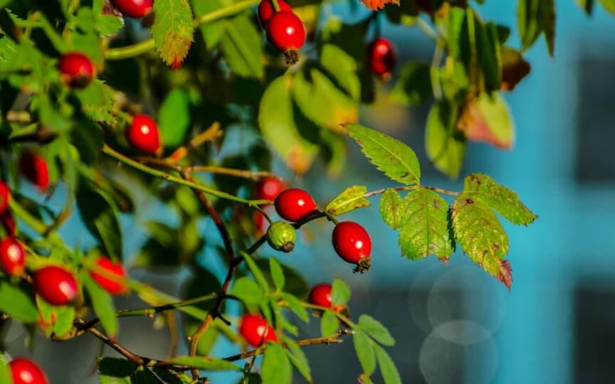 kleine Wunderfrüchte: Hagebutten